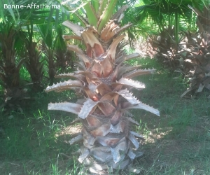 Palmiers à vendre