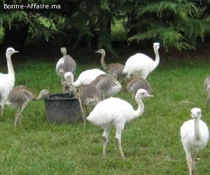 Poussins D'autruche, Emus, Poussin nandous Et Oeufs