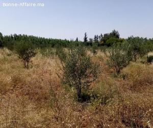 Terrain agricole titré 3 ha route de l'Ourika